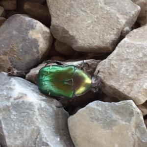 greenbeetle