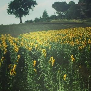 sunflowerfields