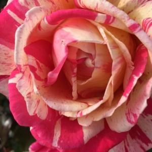 roseparcbagatelle