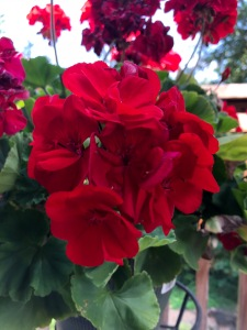 redgeraniums