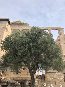 athena tree acropolis